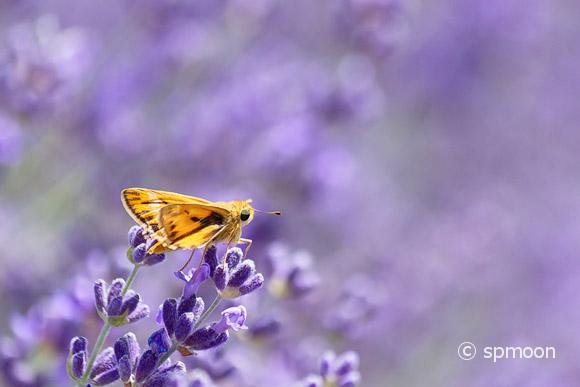 Fiery Skipper resting on lavender flower.
