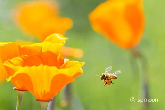 Honey bee collecting pollen from California golden poppies