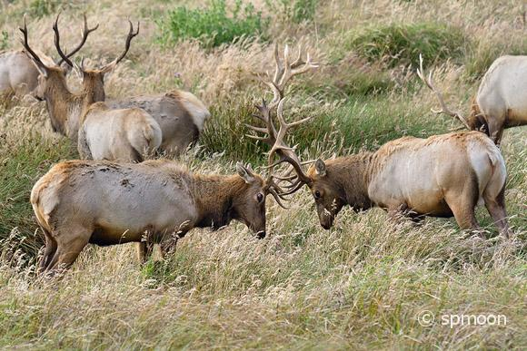 Two male elk sparring in rutting season, Point Reyes National Seashore, CA