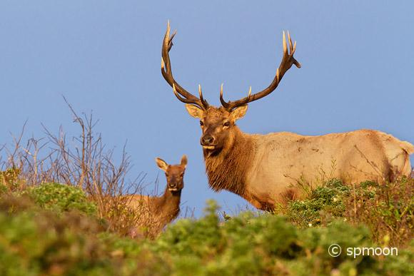 Male and Female Tule Elk in Sunset, Point Reyes National Seashore, CA