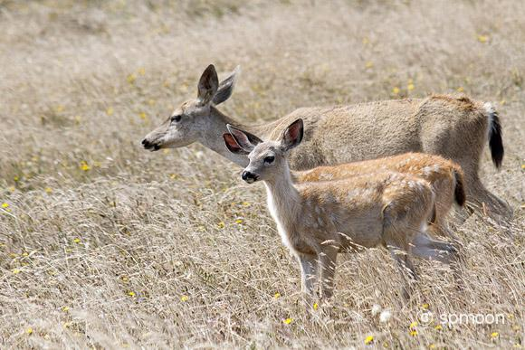 Mother deer and fawns walking in the meadow, Point Reyes National Seashore, CA