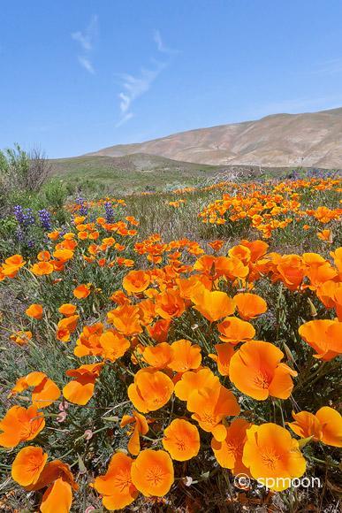 Gorman Wildflower