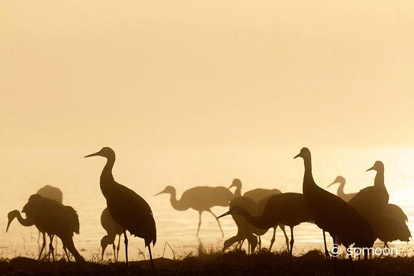 Sandhill cranes in morning mist, Bosque del Apache National Wildlife Refuge, NM