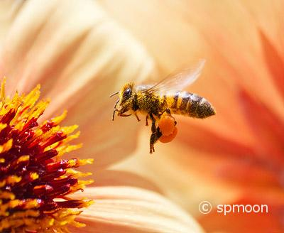 Honeybee collecting pollen from orange dahlia flower.
