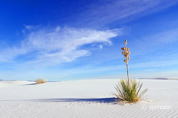 Yucca at White Sands Natioal Monument
