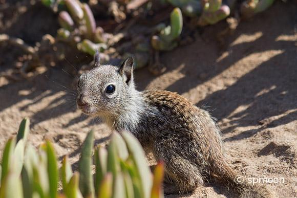 Cute baby squirrel looking curiously, La Jolla, CA.
