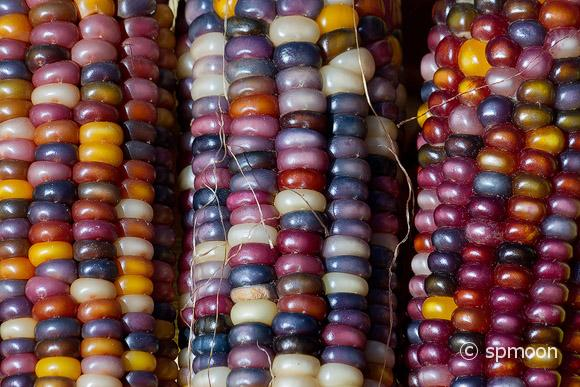 Colorful Indian Corn Close-up.