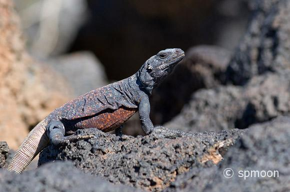 Male Chuckwalla standing on the rock, Amboy, California.