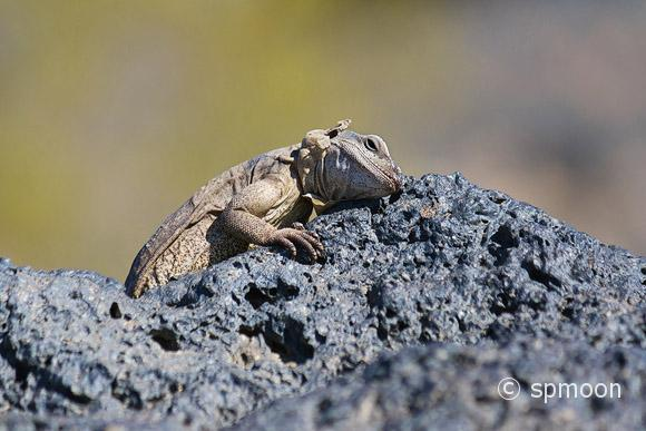 Chuckwalla is getting tired of the summer heat, Amboy, California.