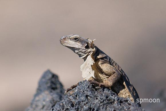Shedding Chuckwalla stading on the rock, Amboy, California.