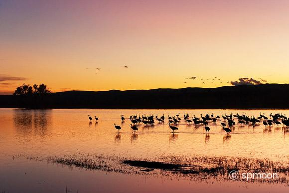 Sandhill Cranes in Sunset