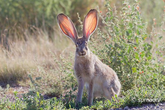 Jackrabbit at Very Large Array, New Mexico