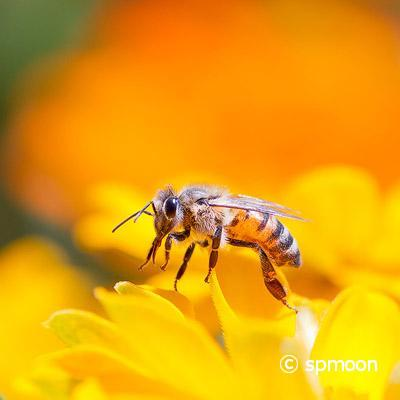 Honey bee collecting pollen from yellow daisy flower
