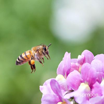 Honeybee flying to pink nemesia flower