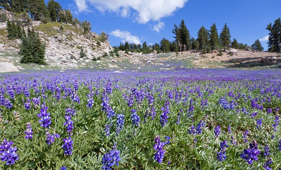 Wild Lupine blooming on Lassen Volcanic National Park