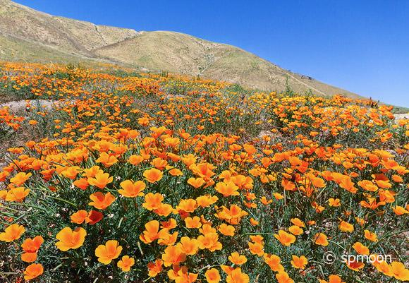 California Golden Poppy in Bloom, Antelope Valley, California.