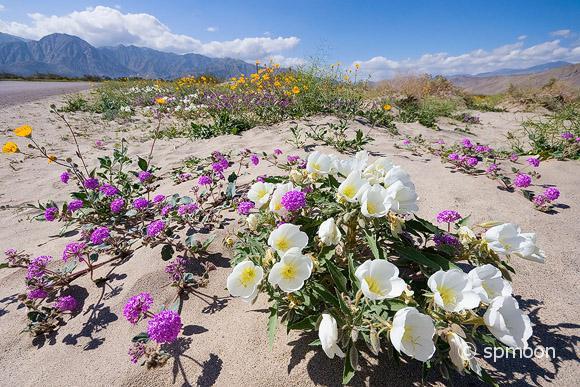 Wildflower in Anza Borrego