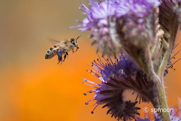 Honeybee flying to purple Tansy Flower