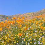 Wildflower in California(カリフォルニアのワイルドフラワー)