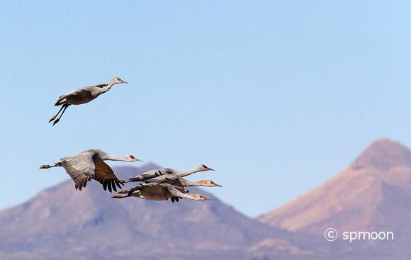 Sandhill crane family - parents and three juvenile flying together over Wilcox playa, AZ.