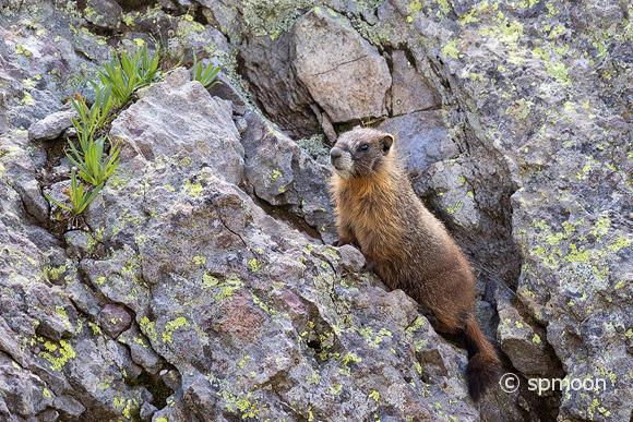 Marmot resting on rock in Island Lake, San Juan Mountinas, Colorado