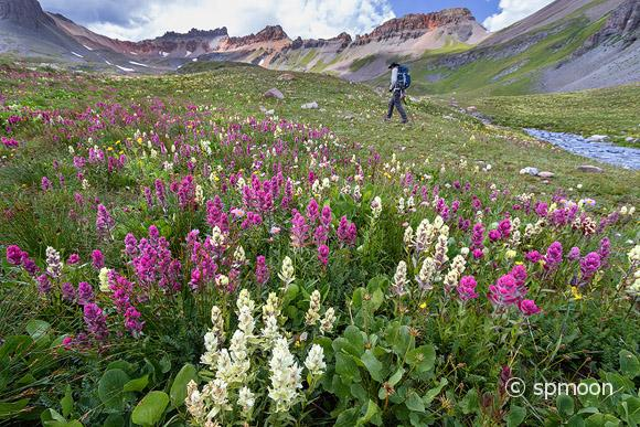Male hiker waiking in the wildflower field on Ice Lake Trail, San Juan Mountains near Silverton, Colorado