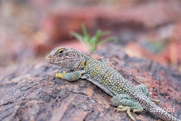 Collared Lizard on petrified wood, Petrified Forest National Park, Arizona