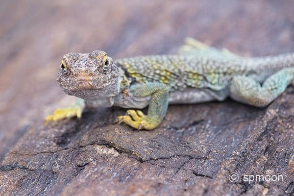 Collared Lizard on petrified wood, Petrified Forest National Park, Arizona