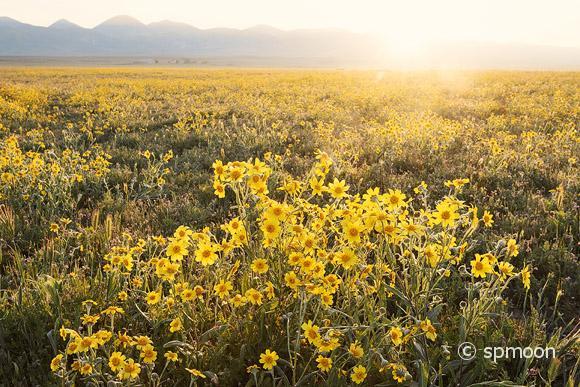 Field of Hillside Daisy at Snrise, Carrizo Plain National Monument, California