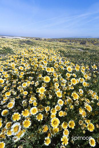 Tidy Tips blooming in Spring, Carrizo Plain National Monument, California