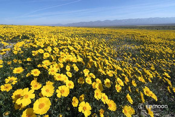 Bigelow's Tickseed blooming in Spring, Carrizo Plain National Monument, California