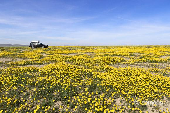 A car in the field of yellow wildflower, Carrizo Plain National Monument, California
