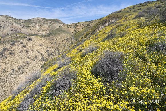 Hillside Daisy blooming in Spring, Carrizo Plain National Monument, California