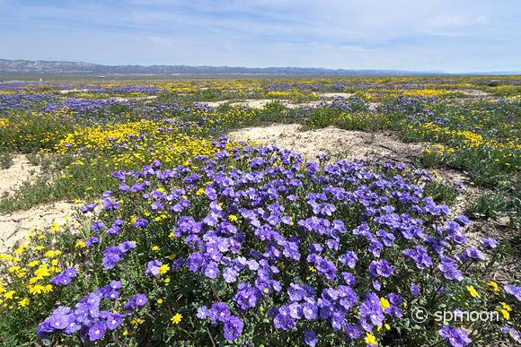 Phacelia (purple) and Goldfields (yellow) blooming in Spring, Carrizo Plain National Monument, California