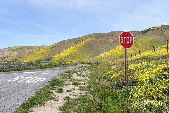 Hillside Daisy blooming on Hwy 58 near Carrizo Plain National Monument, California