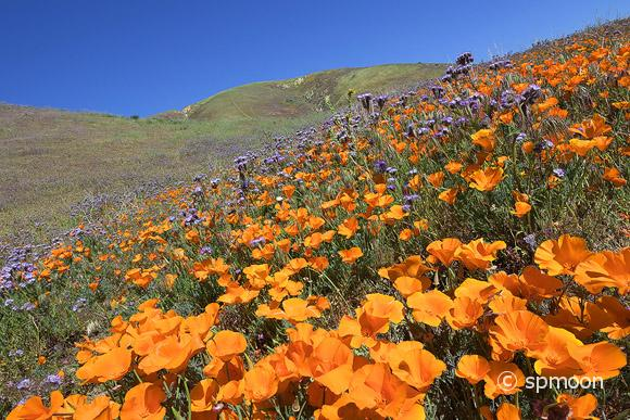 California golden poppy and purple tansy are blooming at Elizabeth Lake near Antelope Valley, CA