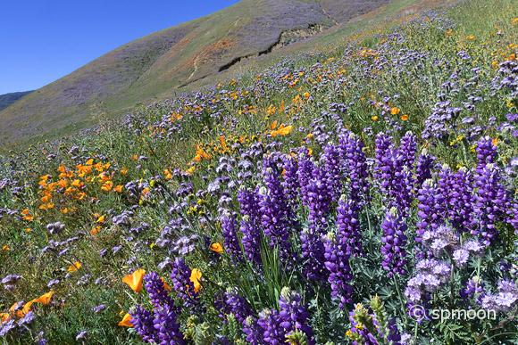 Lupine, California Goden Poppy and Purple Tansy are blooming at Elizabeth Lake near Antelope Valley, CA