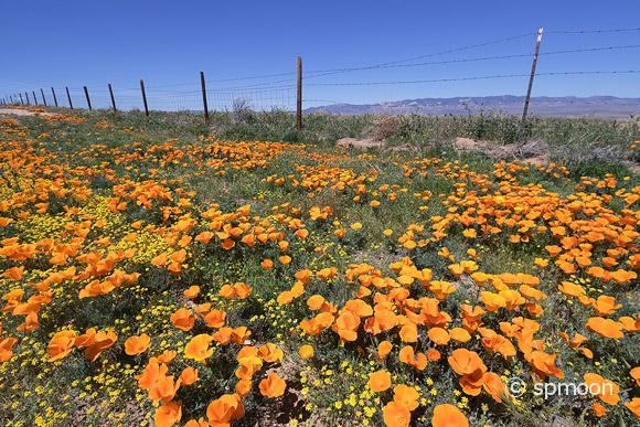 California golden poppy blooming on roadside near Antelope Valley, CA