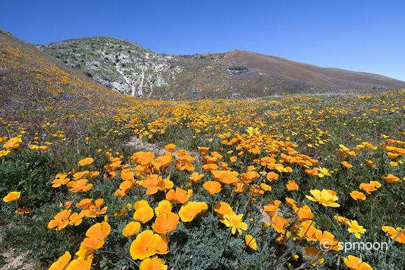 California golden poppy and other wildflowers in bloom at Elizabeth Lake near Antelope Valley, CA