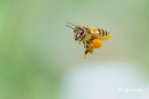Honeybee flying with big pollen basket