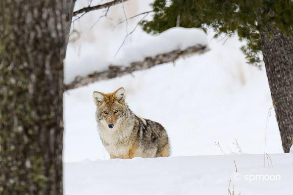 Coyote in winter at Yellowstone National Park.