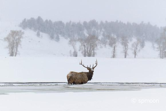 Male elk standing in frozen river, Yellowstone National Park, MT.