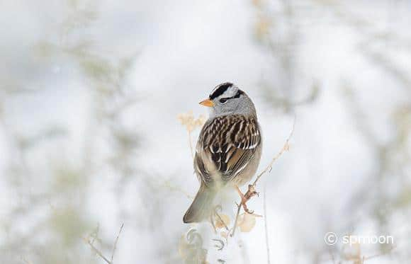 White Crowned Sparrow in Snow, Bosque Del Apache National Wildlife Refuge, New Mexico