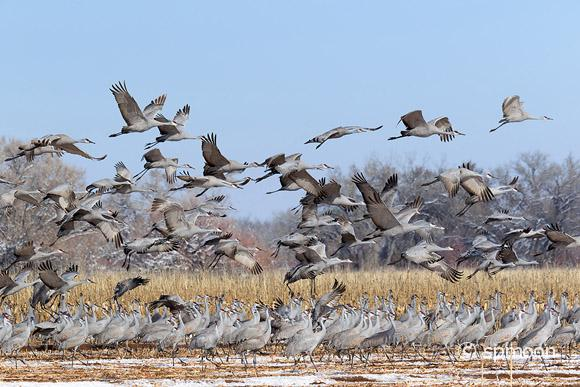 Flock of Sandhill Cranes in the snow-covered corn field, Bernardo wildlife Area near Socorro, New Mexico