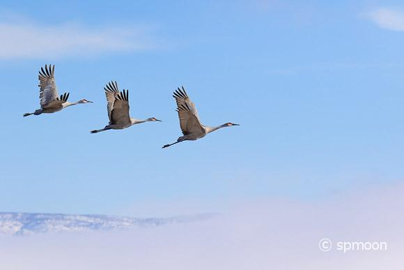 Three Sanhill Cranes in flight, Bernard wildlife Area, New Mexico