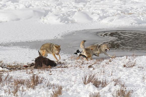 Three coyotes and black-billed magpie fighting over the remains of buffalo meat on frozen pond, Yellowstone National Park.