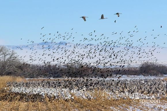 Flock of Birds - Ducks, Snow Geese, Sandhill Cranes and Red-winged blackbirds in the corn field, Bernardo Wildlife Area near Socorro, New Mexico.