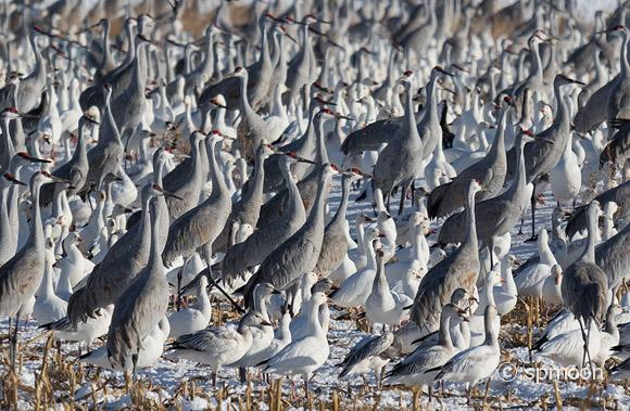 Sandhill Cranes and Snow Geese are resting together in the snow covered corn field, Bernard wildlife Area near Socorro, New Mexico