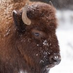 Yellowstone National Park in Winter ~ Wildlife(冬のイエローストーン~野生動物編)