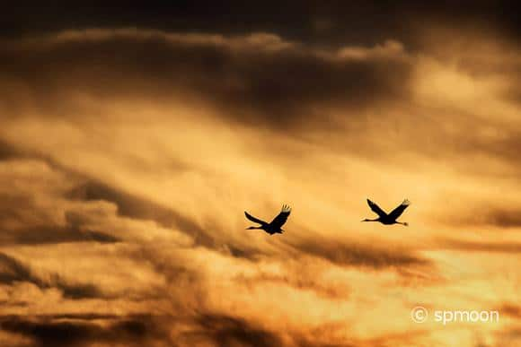 Sandhill Cranes flying in golden sunset, Bernardo Wildlife Area near Socorro, New Mexico